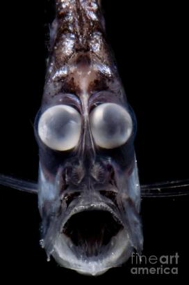 1-deep-sea-hatchetfish-dante-fenolio